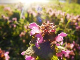 Shining deadnettle by TomorrowPhotographer
