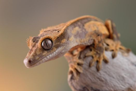 crested gecko 1 by Bulinko