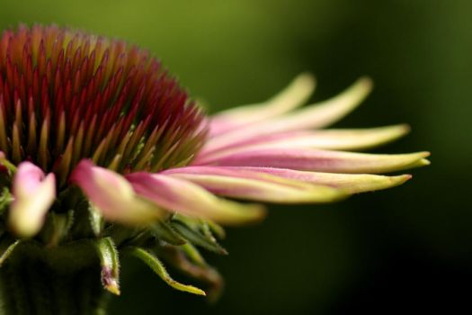 spiny pink by tulien