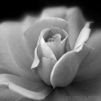 Rose 3 - BW by KSMPhotography