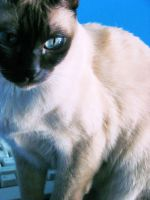 Siamese Cat 2 by hollysteel