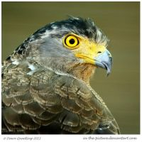 Crested Serpent Eagle by In-the-picture