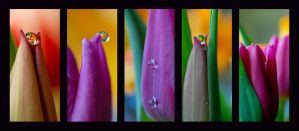 Tulip by Sonny2005