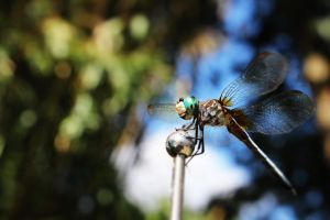 Dragonfly by Jtother777