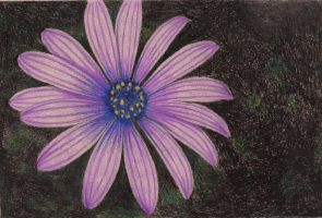 Purpler Daisy by Sofera