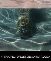 Tiger Swimming Head On by HKstock