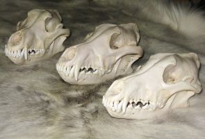 Wolf Skulls Reference 2 by lamelobo