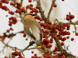 Cedar Waxwing IV by natureguy