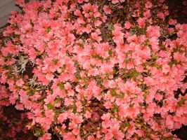 Flower Stock 7 by Noxtu-Stock