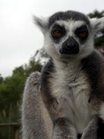 Ring Tailed Lemur 1 by ShimmiDragon