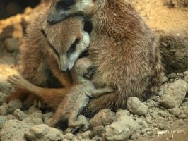 Little suricate family by GwynnWolfPaw