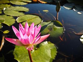 Water Lilly by Ajumska