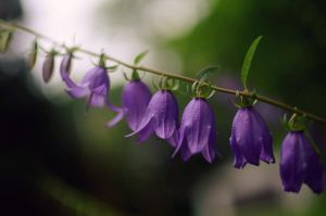 Blooming Bluebells by Theanimalparade