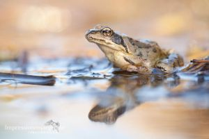 Common frog by chriskaula