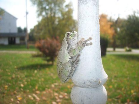 Common Tree Frog 2 by SecretWolves