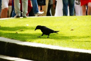 Walking crow by Heurchon