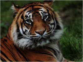 Sumatran Tiger by Idle-Emma