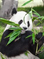Giant panda II by MotHaiBaPhoto