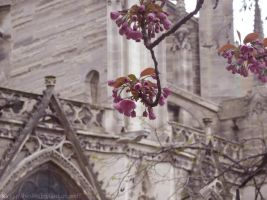 Blossom of Notre Dame by SaqqaraBird