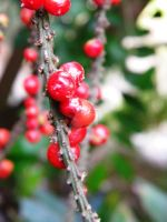 Berries by Passion-For-Pictures