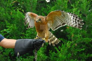 Catherine Cross Red-Shouldered Hawk by CatherineCross