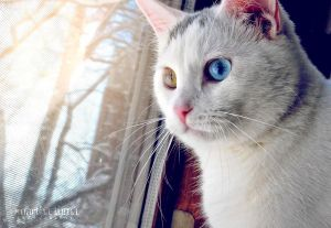 Winnie the Heterochromic Kitty by MarthaTuma