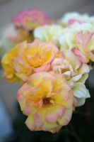 Apricot Roses by AtomicBrownie