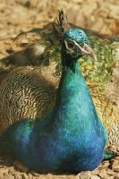 peacock 3 by marob0501