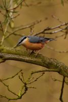 Inquisitive Nuthatch. by quaddie