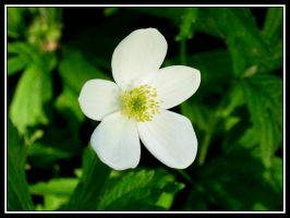 Tiny White Flower by midgard