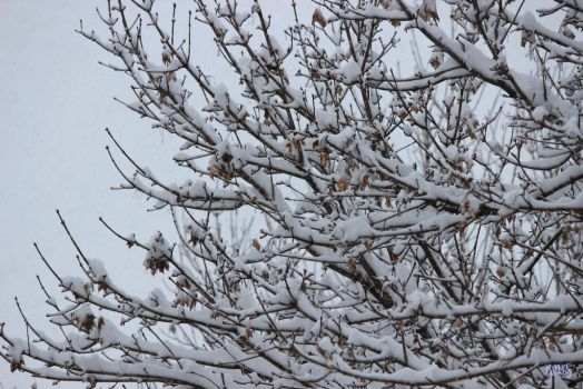 Snowy Branches by dreamwriter12