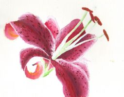 A lily by jillyred