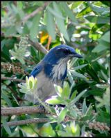 Scrub Jay by shelly349