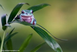 Whites tree froglet 2 by AngiWallace