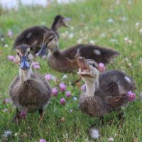 lovely duckies by Colike
