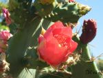 Cactus flower 3 by arekusan