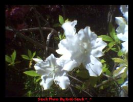 Another Purdy White Azalea by KnK-stock