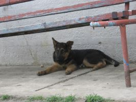 German Shepherd Stock 46 by Freya-Soft-Paws