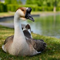 Chinese Goose by jsz