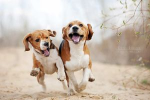 Funny beagles! by Ksuksa-Raykova