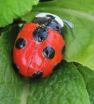 S V - Nine-Spotted Ladybug by dillo