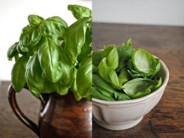 Fresh Basil by divinedecay