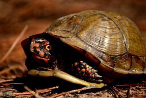 Box Turtle by AmbitiousArtisan
