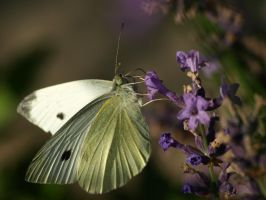 Cabbage white by Bodghia