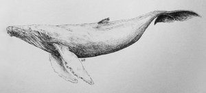 inktober07 - a whale by iva-draws