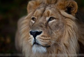 Iblis Asiatic Lion 285-11o by mym8rick