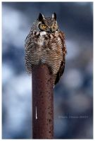 Great Horned Owl by Nate-Zeman