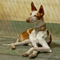 The Elegance of a Podenco by Elianneke