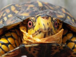 Box Turtle Close Up by NatureGirl4Ever