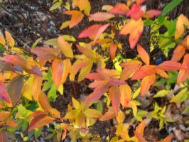 fall color spiraea by crazygardener